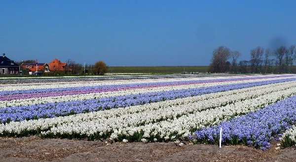 Blooming tulips in the surrounding